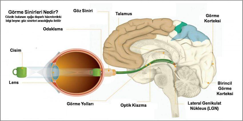 Beyin ve Görme, Görme Nasıl Gerçekleşir | Özgür Optik
